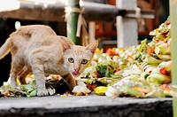 Cat searching for food offered by Balinese people at the shrine, Bali