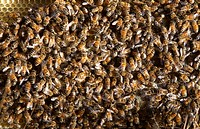 Close up image of swarm of bees on honey comb