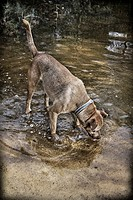 Hunting Dog drinking water from a pond in the forest of La Cañada Valencia.