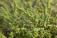 English Wedge Wood Thyme Herb
