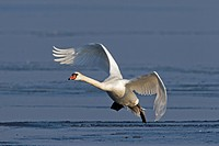 Mute swan Cygnus olor landing on frozen lake in winter, Germany