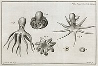 Octopus anatomy. 18th_century journal page illustrating an octopus described in a paper presented by the British naturalist Henry Baker 1698_1774 and ...