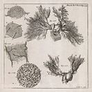 Biological illustrations. 18th_century journal page with various artworks. At right are the pulmonary veins drawn post_mortem in a 1_year_old child wh...