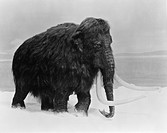 Woolly Mammoth Mammuthus primigenius. This animal lived in the Holartic region during the paeleolithic Ice Age.