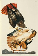 Red_tailed hawks Buteo jamaicensis and prey. Plate 51 from John James Audubon´s ´Birds of America´, original double elephant folio 1827_30, hand_colou...