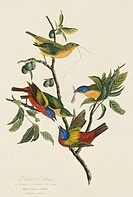 Four painted bunting birds Passerina ciris. Illustration from John James Audubon´s ´Birds of America´, original double elephant folio 1827_30, hand_co...