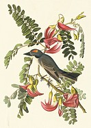 Grey kingbird Tyrannus dominicensis. Illustration from John James Audubon´s ´Birds of America´, original double elephant folio 1831_34, hand_coloured ...