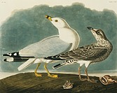 Ring_billed gull Larus delawarensis. Illustration from John James Audubon´s ´Birds of America´, original double elephant folio 1834_35, hand_coloured ...