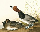 Redhead duck Aythya americana. Illustration from John James Audubon´s ´Birds of America´, original double elephant folio 1835_38, hand_coloured aquati...