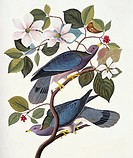 Band_tailed pigeon Columba fasciata. Illustration from John James Audubon´s ´Birds of America´, original double elephant folio 1835_38, hand_coloured ...