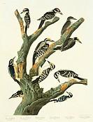 Eurasian three_toed woodpecker Picoides tridactylus, the hairy woodpecker Picoides villosus, and the downy woodpecker Picoides pubescens. Illustration...