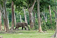 African forest elephant Loxodonta cyclotis. This elephant is found in the forests of the Congo Basin, and is smaller than the larger African bush elep...