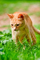Red Greek stray cat in nature