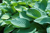 Sunlit Hosta Plant in the Spring