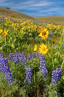 Lupine with balsamroot, Columbia Hills State Park, Columbia River Gorge National Scenic Area, Washington