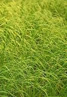Fine curving grasses