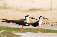 Brazil, Mato Grosso, Pantanal area, Black Skimmer Rynchops niger , fishing
