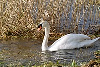Mute Swan Cygnus Olor on Lough Ennell, Mullingar, County Westmeath, Ireland