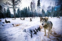 Wolves prowling in snowy landscape