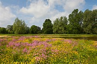 Meadow with flowers, near Greifswald, Baltic Sea, Mecklenburg_West Pomerania, Germany