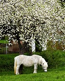 Shetland pony in spring, Erfurt, Thuringia, Germany, Europe