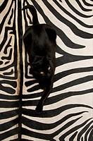 Black european cat lying on a black and white striped zebra skin