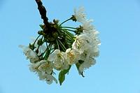 Cherry´s flower