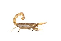 Common Yellow Scorpion (Buthus occitanus)