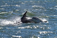 Bottlenose dolphin Tursiops truncatus, calf spyhopping while surfacing next to its mother in the Moray Firth at Chanonry Point, Fortrose, Black Isle, ...