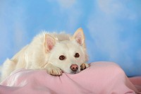 Spitz crossbreed lying on a pink blanket with its head between its paws