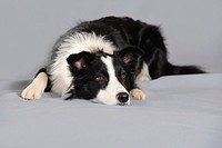 Border Collie lying with its head on the floor