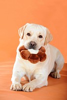 Yellow Labrador Retriever, portrait, holding a brown flower cushion in its mouth