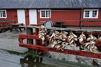 Stockfish heads, Nusfjord, Lofoten, Nordland, Norway / Stockfischköpfe, Nusfjord, Lofoten, Nordland, Norwegen