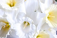 Beautiful fresh narcissus