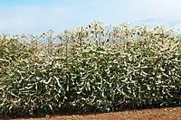 Coffee plantation near Boa Esperana, Minas Gerais, Brasil, South America / Kaffeeplantage zur Blütezeit, Boa Esperanza, Minas Gerais, Brasilien, Südam...