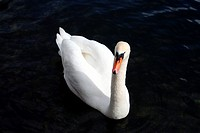 Swan on black background