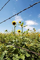 Field of Yellow Wildflowers Behind Barbed Wire Fence, Texas, USA
