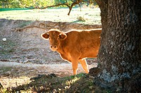 cow behind tree