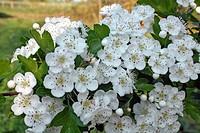 apple blosom tree