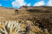 Frailejone plants in El Cocuy National Park, Colombia, South America