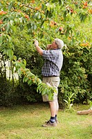 Senior picking cherries, Limburg an der Lahn, Hesse, Germany, Europe