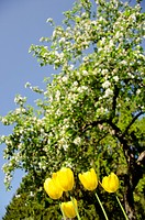 Yellow tulips in background of blooming tree.