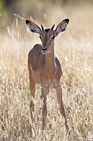 Young impala Aepyceros melampus buck, Kruger National Park, South Africa, Africa
