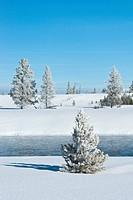 Hoar frost snow_covered tree in Yellowstone National Park, Montana, United States of America, North America