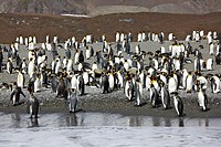 King Penguins, Saint Andrews Bay, South Georgia island, South Georgia Islands, Antarctica