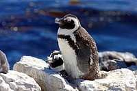 Jackass Penguin, Spheniscus demersus, Betty´s Bay, Western Cape, South Africa, Africa, adult on rock