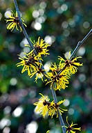 HAMAMELIS MOLLIS ´EARLY BRIGHT´