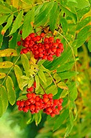 Fruits of the European Rowan, Sorbus aucuparia