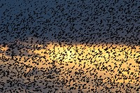 Starlings - Sturnus vulgaris, Greece