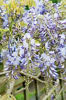 WISTERIA SINENSIS ´PROLIFIC´ TRAINED ALONG FENCE RHS GARDEN WISLEY